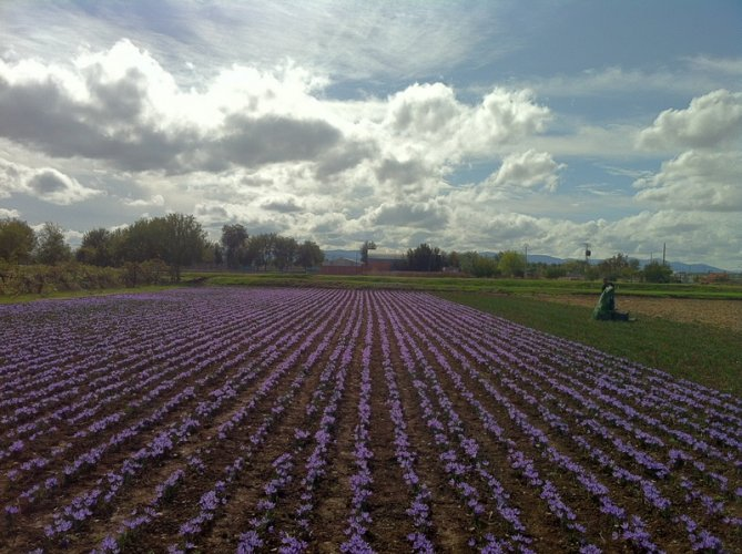 Saffron field